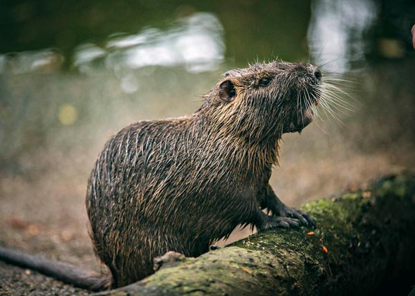 New Jersey Film Festival Premieres the Environmental DocumentaryRodents Of Unusual Size on Friday, September 28!